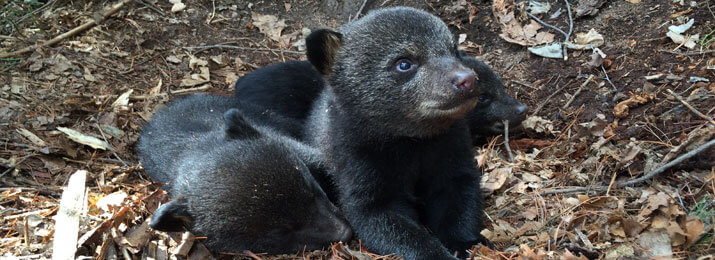 Bear cubs of Asheville, NC